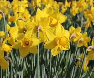 daffodils, yellow, and flowers image