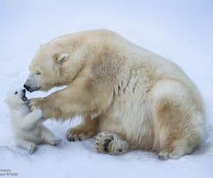 animals, bear, and Polar Bear image