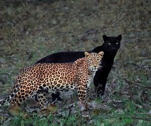 animal, leopard, and black image