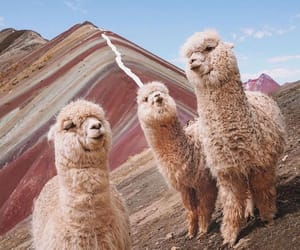 animal and alpaca image
