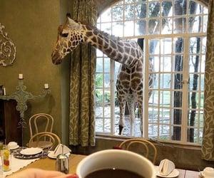 africa, coffee, and giraffe image