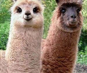 adorable, alpaca, and llama image