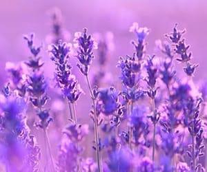 flower, lavanda, and purple image