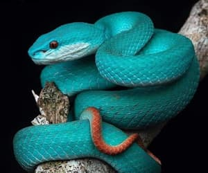 indonesia, snake, and fierce blue image