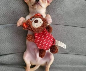 chihuahua, dogs, and cute animals image