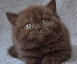 aesthetics, brown, and kitten image