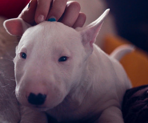 bull terrier and puppy image