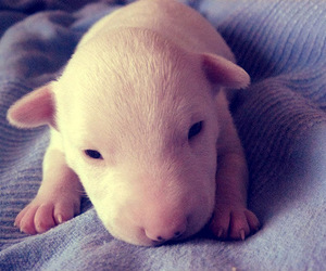 bull terrier, puppy, and cute image
