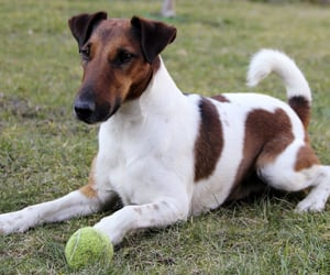 animals, dogs, and foxterrier image
