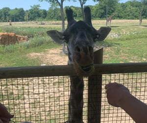 animal, animals, and giraffe image