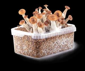 magic mushroom grow kit image