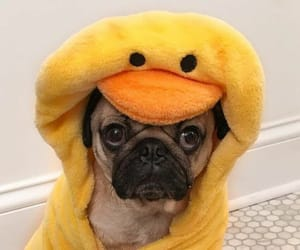 cute animals, pugs, and cute dogs image