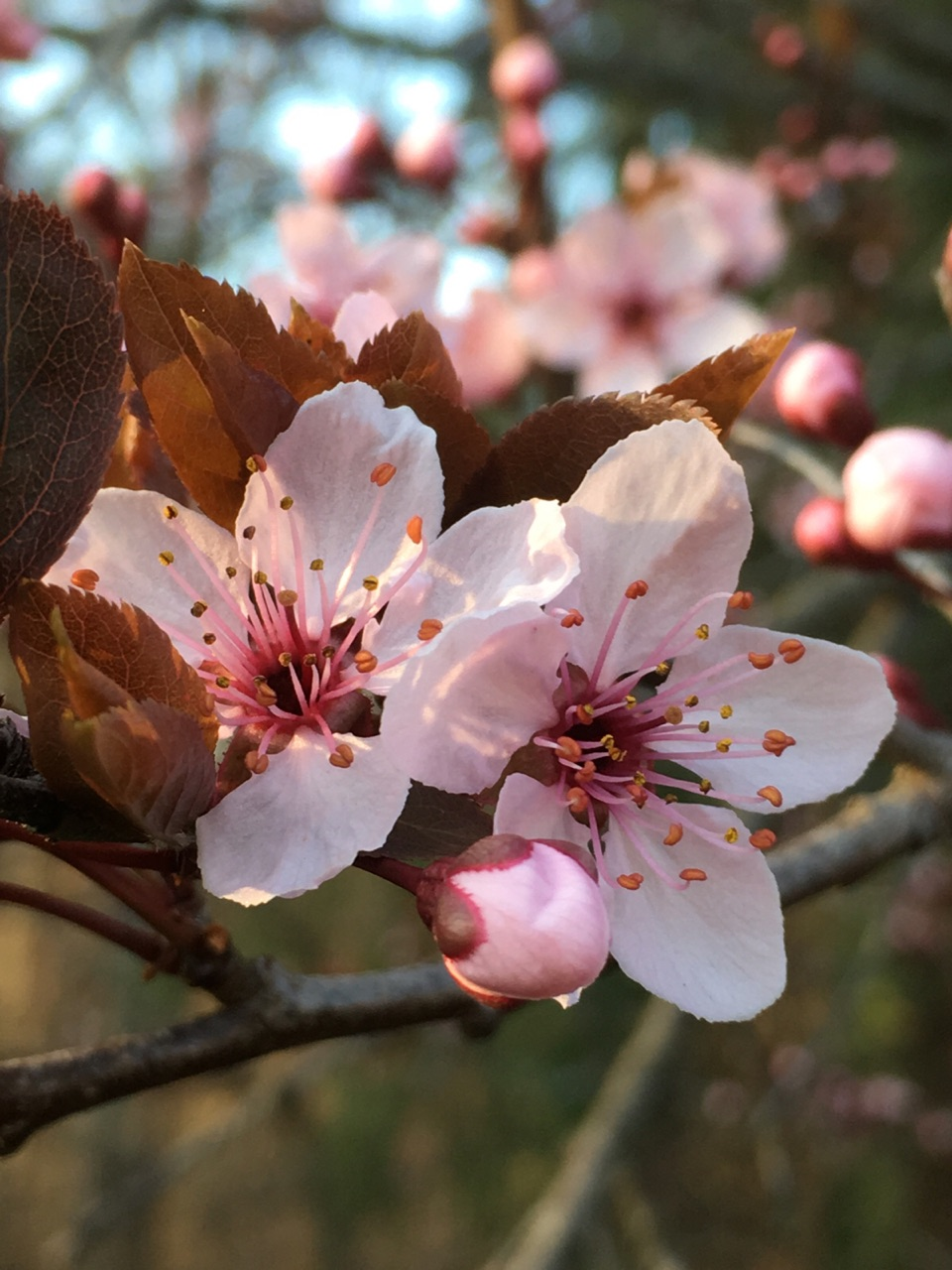 aesthetic, cherry blossoms, and flowers image