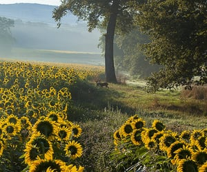 deer, nature, and sunflowers image