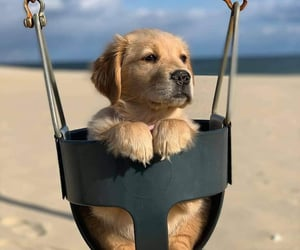 golden retriever, beautiful beauty, and dog dogs image
