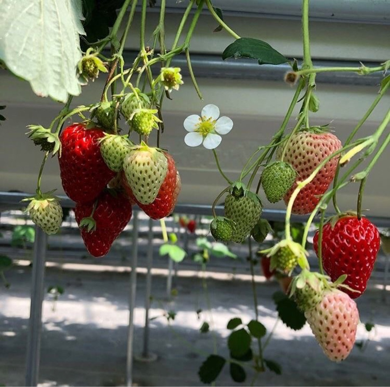 berries, red, and strawberry image