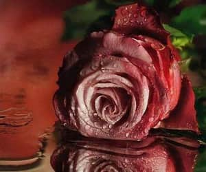 rosa, water, and rose image
