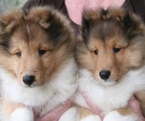 Absolutely adorable Sheltie (Shetland Sheepdog) Pups