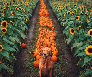 dog, cute, and pumpkin image