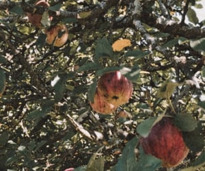 apples, fall, and apple picking image