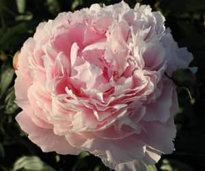 pink peonies, beautiful, and colors image
