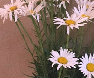 flowers, papatya, and astrophe image
