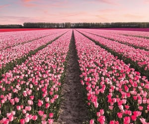 field, netherlands, and pink image
