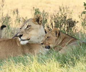 lioness and pride image