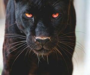 animal, black, and panther image