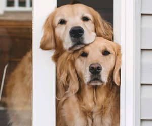 dogs and goldens image