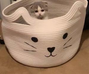 cat, kitten, and scottish fold image