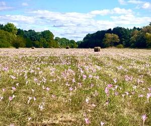 field, flowers, and lightpurple image