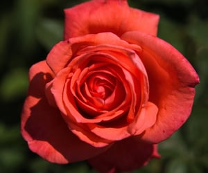 focus, rose, and all image