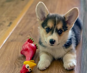 corgi, cute dogs, and dogs lovers image