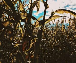 cornfield, skies, and sky image