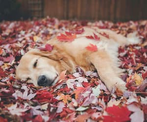 autumn, leaves, and retriever image