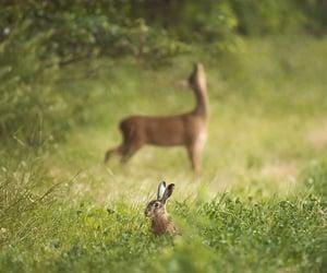 deer and rabbit image