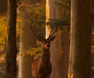 deer and woods image