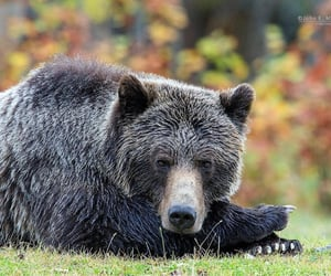 Grizzly waiting for the Salmon
