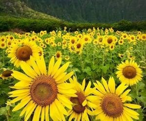background, sunflower garden, and unfiltered background image