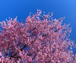 beautiful, cherry, and cherry blossoms image