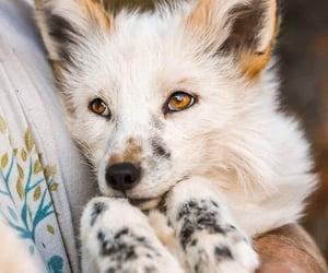beautiful, animals, and fox image