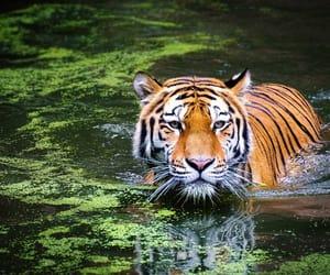tiger and tigre image