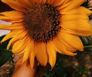 photography, sunflower, and yellow image