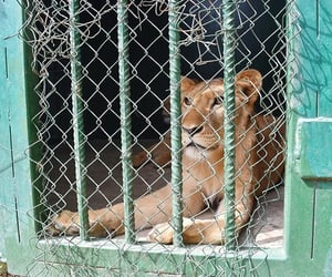 lioness, nigeria, and small cage image
