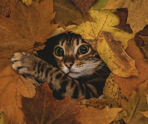 animal, cat, and autumn image