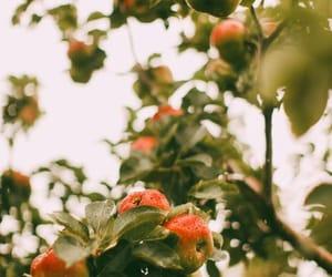 apple tree, autumn, and fruit image