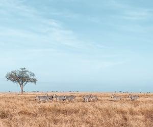 africa, zebra, and animal image