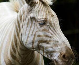 africa, pet, and zebra image