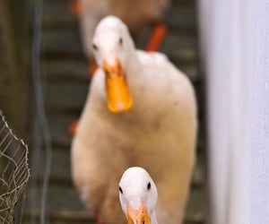 ducks image